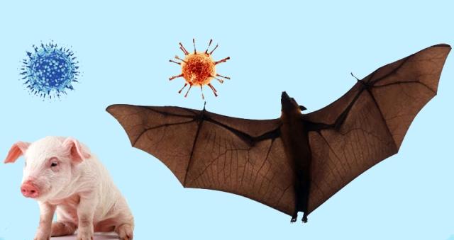 संक्रमणको उच्च जोखिम : निपा भाइरस फैलाउने चमेरो नेपालमै